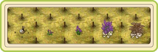 Name:  Birthday Party, Wedding Lilac (Premium), stages of growth.jpg Views: 291 Size:  39.6 KB